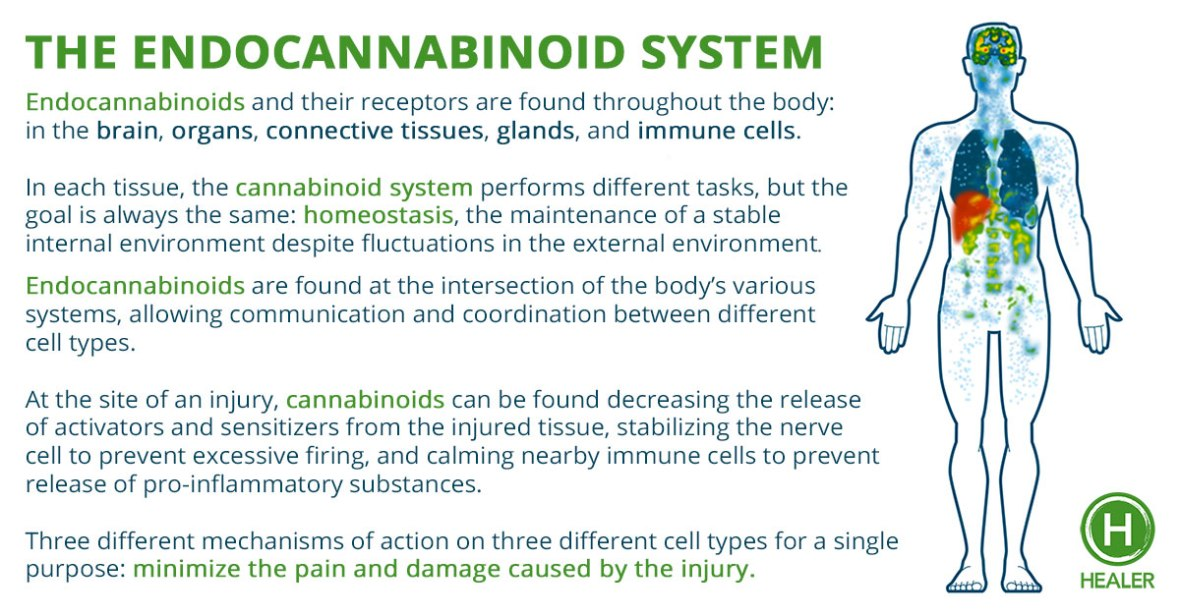 The-endocannabinoid-system-healer.com_